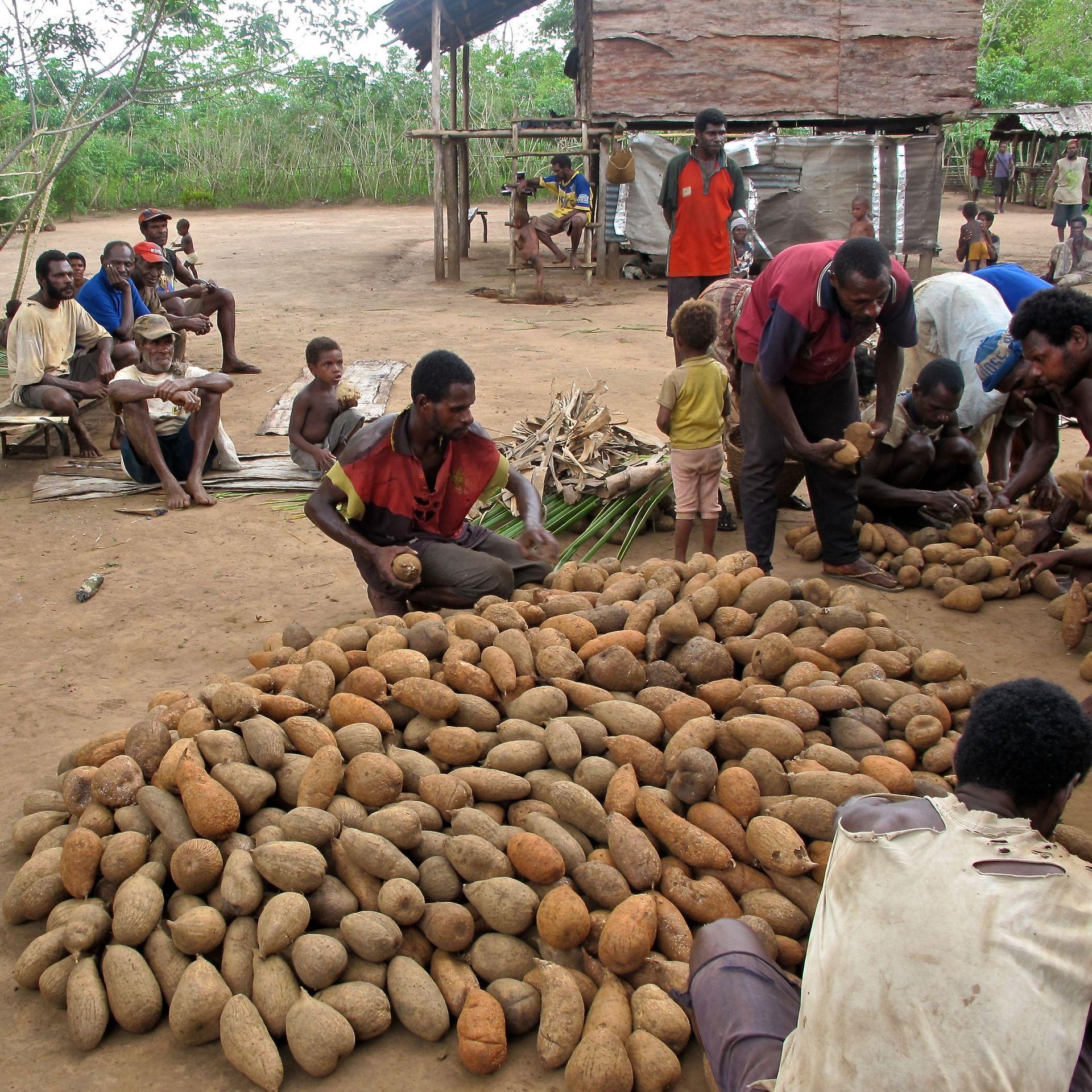 Dorfbewohner zählen im Freien die Ernte, die aus einem großen Haufen von Yamswurzeln besteht.